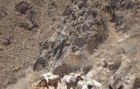 Burros descendiendo por el cañón del Colca en Perú