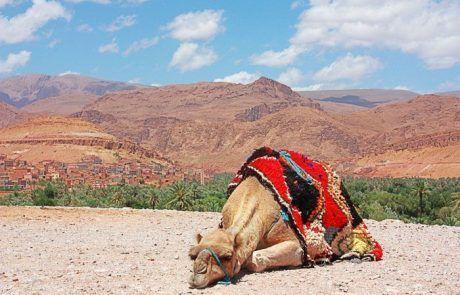 Camello acostado en mirador oasis de Marruecos