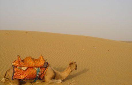 Camello en el desierto de Jaisalmer en el Rajastán