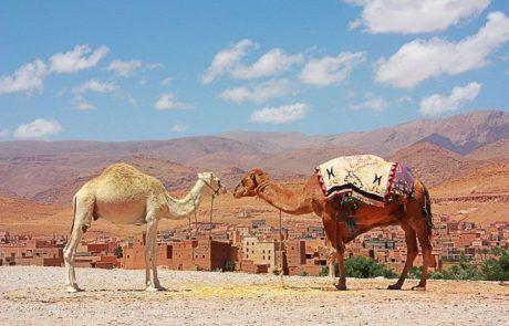 Camellos enamorados contemplando oasis de Marruecos