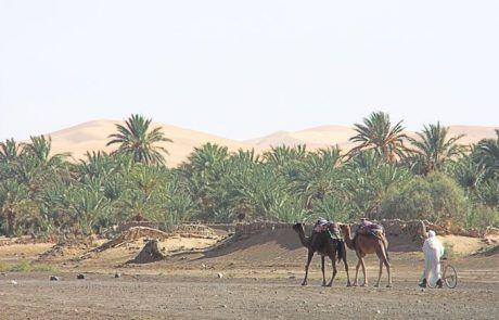 Camellos llegando al oasis, Marruecos