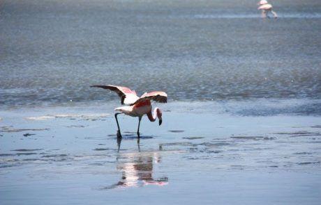 Flamenco en laguna del Salar de Uyuni