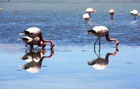 Flamencos en la laguna profunda del Salar de Uyuni buscando comida