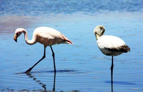 Flamencos caminando en laguna profunda en el Salar de Uyuni