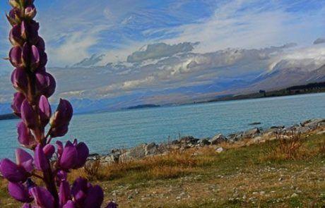 Bonita flor del lago Pukaki en Nueva Zelanda