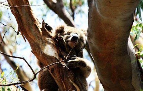Koala en árbol, Australia