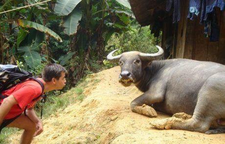 Desafiando a un toro en Sapa
