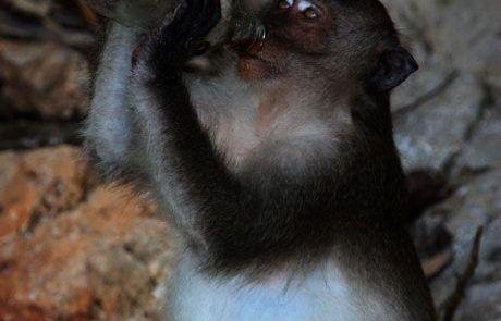 Mono bebiendo cocacola en Kho Phi Phi