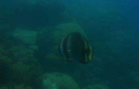 Pez buceando en la gran barrera de coral