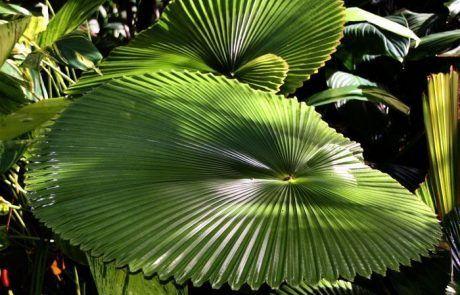 Planta gigante, Cape Tripulation