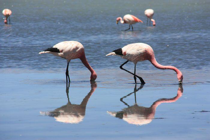 Reflejos de dos flamencos en la laguna profunda en el Salar de Uyuni