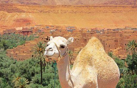 Retrato de un camello, Marruecos
