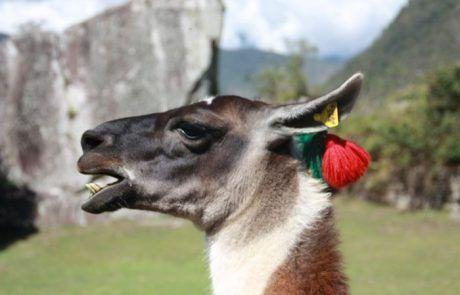 Retrato de una llama en el Machu Picchu