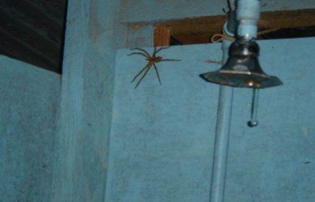 Tarántula en la ducha del hostal las Marias en Semuc Champey