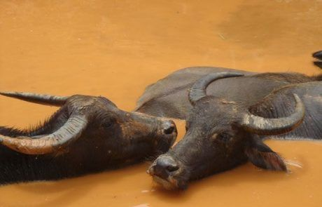 Toros bañándose en barro en Sapa
