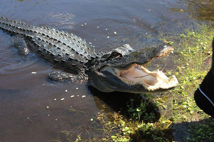 Caimán, habitante de los Everglades