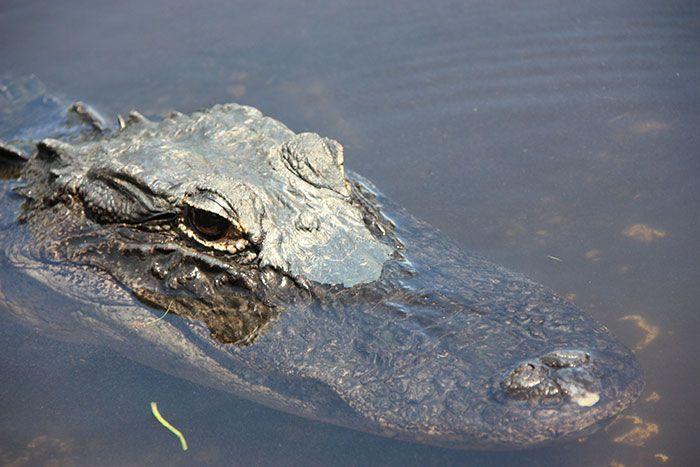 Retrato de un caimán en los Everglades
