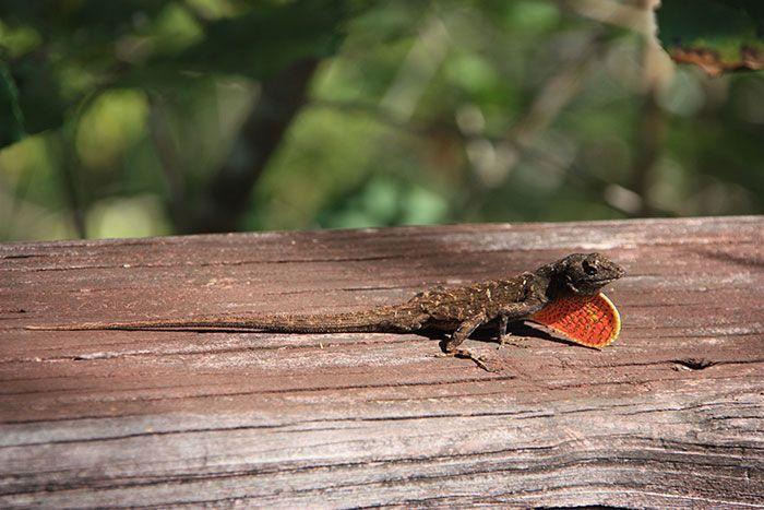 Dragón, habitante de los Everglades