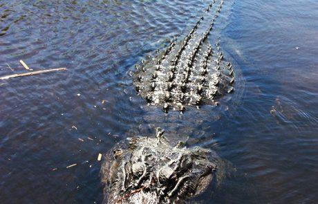 Caimán en los Everglades